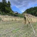 稲刈りとはさかけ(稲架掛け)の作り方